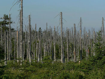 Germany Forest SignificantlyAffected by Acid Rain